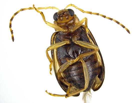 Metrioidea varicornis? - Metrioidea varicornis