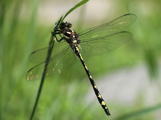 Spiketail - Cordulegaster obliqua - male
