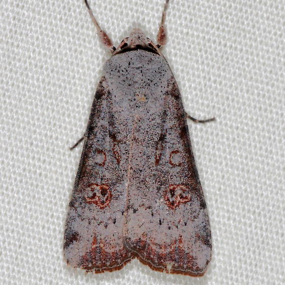 Moth - Anicla infecta