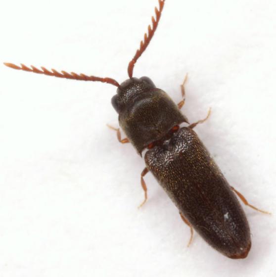 Microrhagus brunneus Otto - Microrhagus brunneus - male