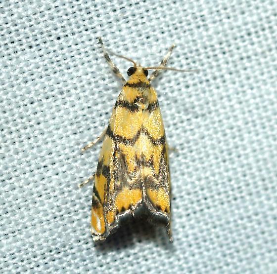 moth - Diptychophora harlequinalis