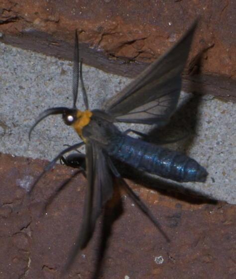 Black and yellow moth - Cisseps fulvicollis