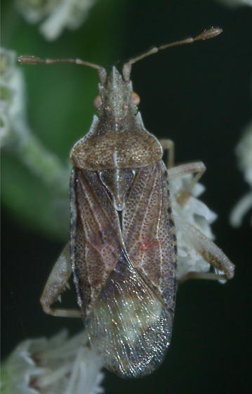 Scentless plant bug (maybe) - Harmostes fraterculus