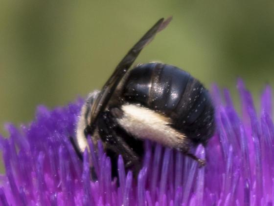 Unknown Bumblebee - Melissodes desponsus - female