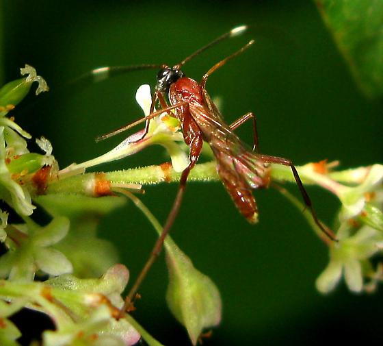 Red Wasp - Zagryphus nasutus - male