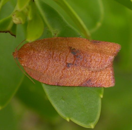 Cacoecimorpha pronubana - Choristoneura obsoletana - female
