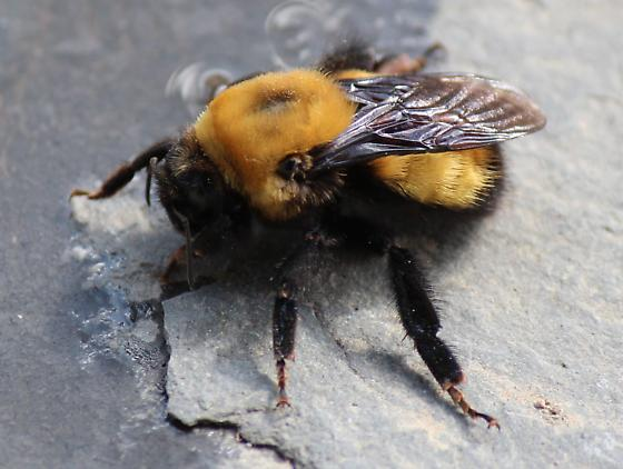 Bombus morrisoni? - Bombus nevadensis - female