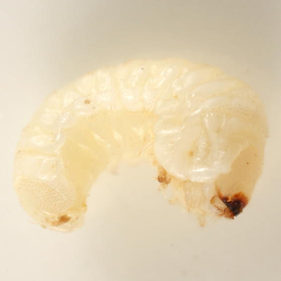 Wood-boring beetle larva - Ptilinus ruficornis