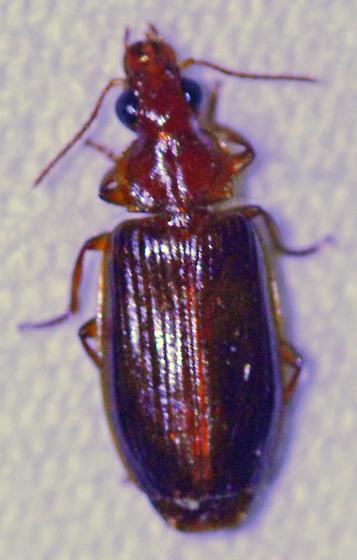Caspers Beetle? - Plochionus timidus