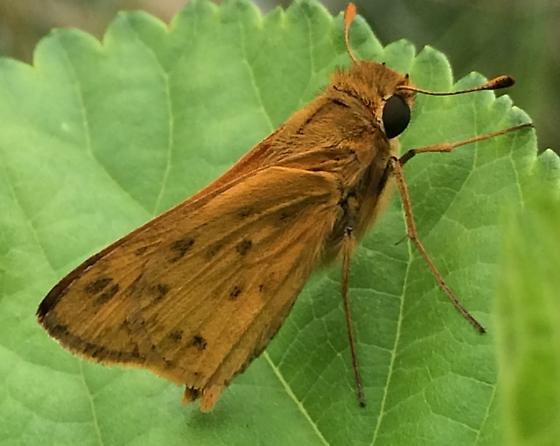 Hylephila phyleus - Fiery Skipper? - Hylephila phyleus