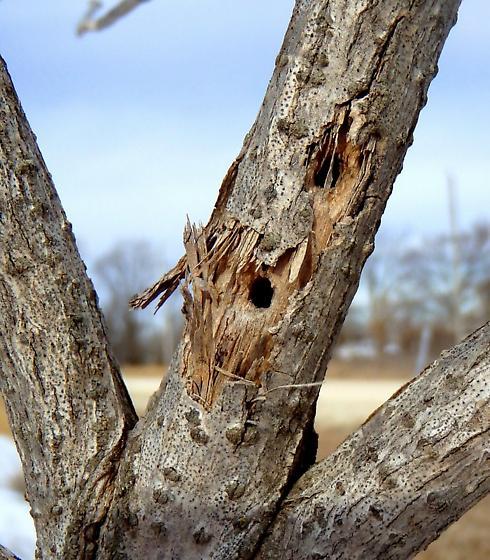 elderberry borer