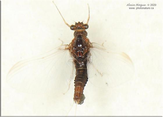 Ephemeroptera - Attenella attenuata