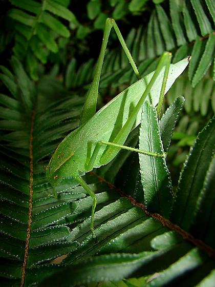 Scudderia? - Amblycorypha oblongifolia
