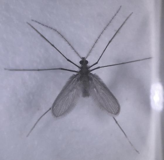 Nemopalpus nearcticus Young - Nemopalpus nearcticus