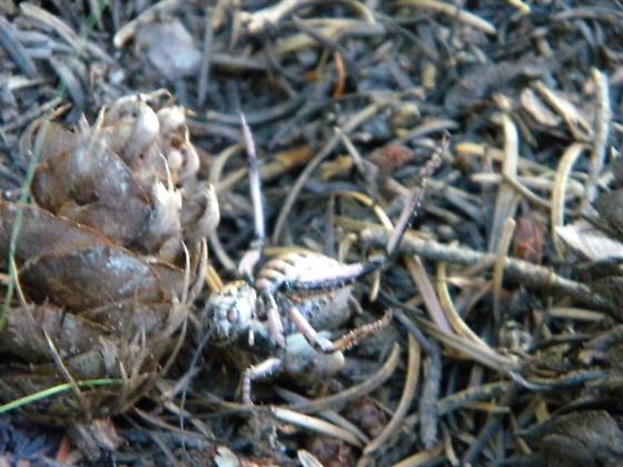 Strange bug in Mt. Hood National Forest - Cyphoderris
