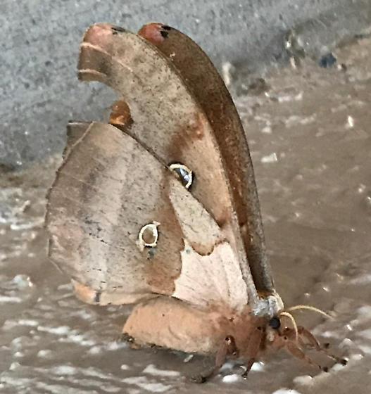 Florida Moth - Antheraea polyphemus