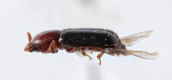Corticeus ? - Corticeus thoracicus