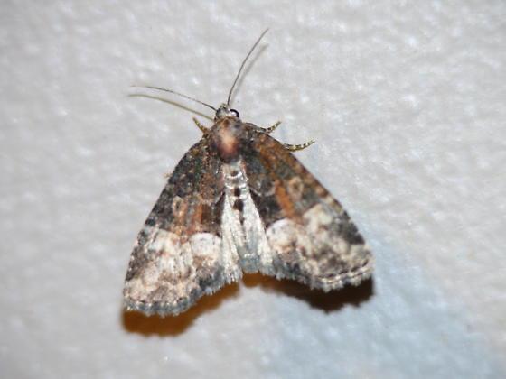 Is this the Brown Arches Moth (Lacinipolia stricta) ? - Neoligia subjuncta