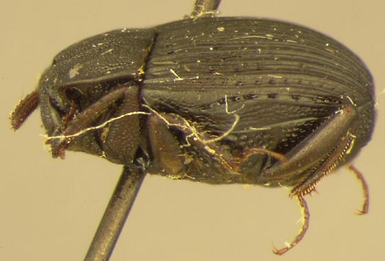 Onthophilus lecontei