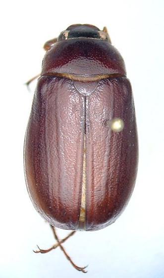 Phyllophaga inversa - male