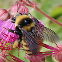 Sibley Peninsula Bumblebee - Bombus borealis
