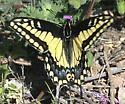 Anise Swallowtail ?