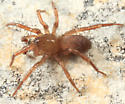 spider - Cicurina itasca - male