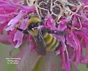 unknown bee - Bombus borealis