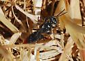 Square-headed wasp - Tachysphex