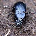 Ground Beetle - Diplocheila
