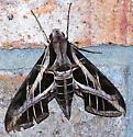 Eumorpha vitis