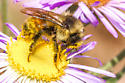 Bumblebee - Bombus - male