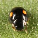 Lady Beetle - Hyperaspis proba