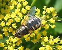 Stratiomyidae - Odontomyia