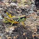 grasshopper - Melanoplus lakinus - male