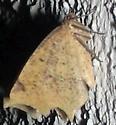 Unk Moth #50 - Antepione thisoaria