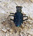 Tiger beetle - Cicindela punctulata