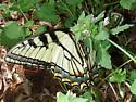 Appalachian Tiger Swallowtail? - Papilio appalachiensis - male