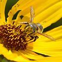 native pollinator - Megachile