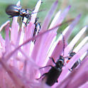 communal beetles - Diabrotica cristata