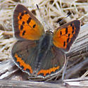 American Copper - Lycaena phlaeas - male