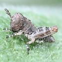 Grasshopper - Left Lateral - Melanoplus