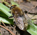 Narcissus Bulb Fly - Merodon equestris