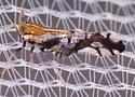 Leafhopper  - Liburniella ornata