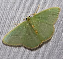 Nemoria bifilata, White-barred Emerald, Hodges #7045 ? - Nemoria bifilata