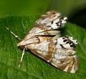 Pegasus Chalcoela - Petrophila bifascialis
