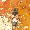 Small brachypterous bug - Blissus leucopterus