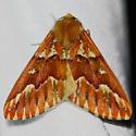 Red girdle - Caripeta aequaliaria - male