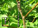 Arrow Spiketail - Male - June 01, 2005 - Cordulegaster obliqua - male