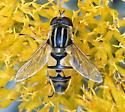 Helophilus fasciatus? - Helophilus latifrons